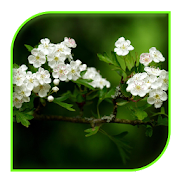 App white flowers Live wallpaper APK for Windows Phone