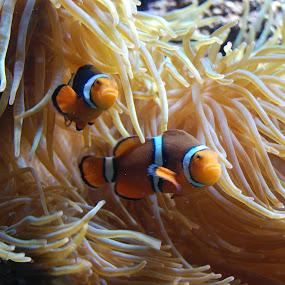 Clownfish by Angel Harvey - Animals Fish ( fish, anemone, nemo, clownfish, sea creatures, underwater life, ocean life,  )