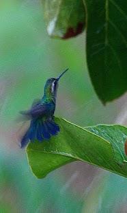Hummingbird - náhled