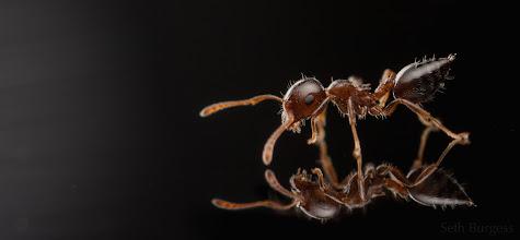 Photo: Acrobat ant on glass (Crematogaster sp.)