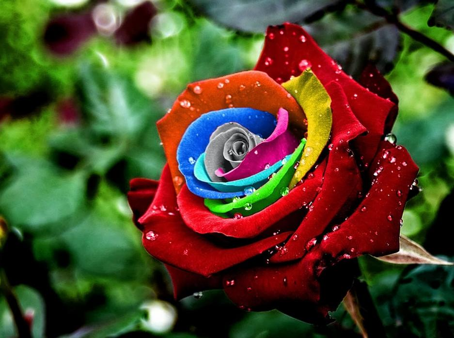 best roses picture  android apps on google play, Beautiful flower