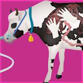 cow pregnancy surgery