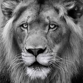 Lion Regal final bw (Mar 18) NR tight2 right.jpg