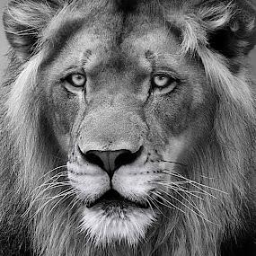 Pride by Shawn Thomas - Black & White Animals