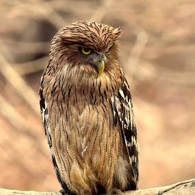 Brown fish owl by Manoj Kulkarni - Animals Birds ( nature, owl, bird, fish, staring, brown, branch, wildlife )
