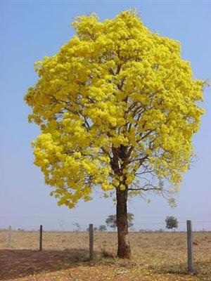 Ipê amarelo: árvore símbolo do Brasil e da AMME Evangelizar também