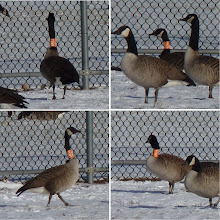 Photo: Canada Geese with orange neck collars.
