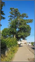 Photo: Cenușer (Ailanthus altissima) - de pe Str. Stefan cel Mare - 2017.07.18