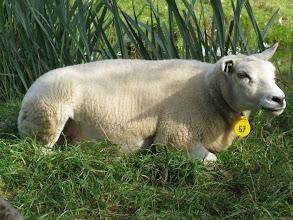 Photo: Chill sheep of Marken.