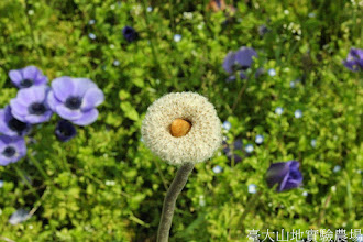 Photo: 拍攝地點: 梅峰-一平台 拍攝植物: 白頭翁(結果) 拍攝日期: 2014_04_16_FY