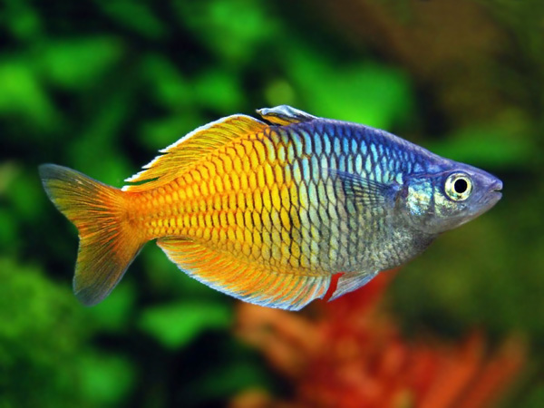 Boesman's Rainbowfish