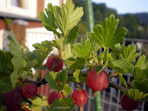 Photo: The red Gooseberries are ripe!   I picked 800g of them form this one bush in my care since three years. Just enough to make 4 1/2 glasses of jam from them to last through the cold season. Spiced with ginger and cinnamon.  #leavesonthursday +Leaves On Thursday Curators +Anne Durand +Stephen Thackeray +Ray Bilcliff