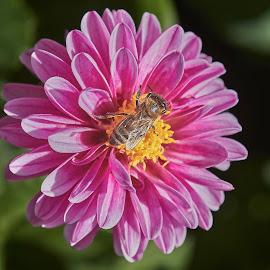 Dahlia 8874~ by Raphael RaCcoon - Flowers Single Flower