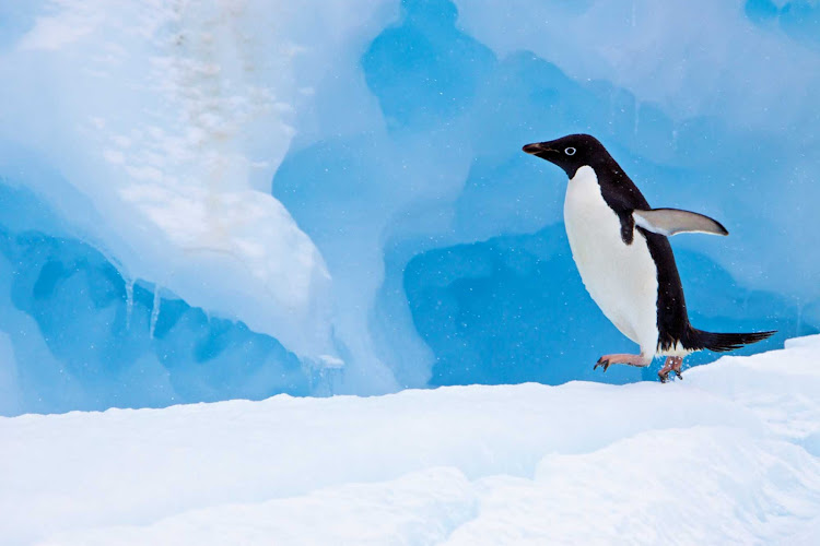 An adult Adelie penguin trundles along on an iceberg in Antarctica during a Lindblad expedition.