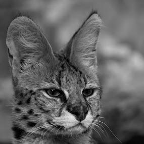 Focusing by Nenad Borojevic Foto - Black & White Animals (  )