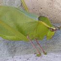 Giant Katydid