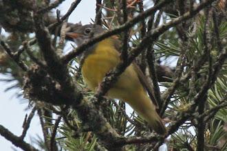 Photo: Connecticut Warbler