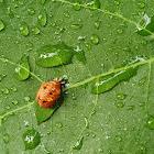 Harlequin Ladybird (Asian Lady Beetle) - Pupa
