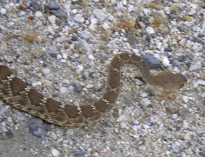 Anza Borrego - Rattlesnake in Carrizo Gorge