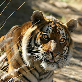 Tiger stare by Charmane Baleiza - Animals Other Mammals ( charmane baleiza, big cats, male tiger, tiger, wildlife )