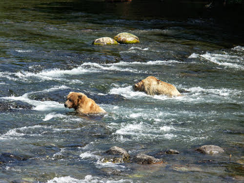 Grizzly bears wading in the Brooke River