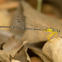 Yellow Bush Dart