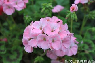 Photo: 拍攝地點: 梅峰-溫帶花卉區 拍攝植物: 天竺葵 拍攝日期: 2015_05_29_FY