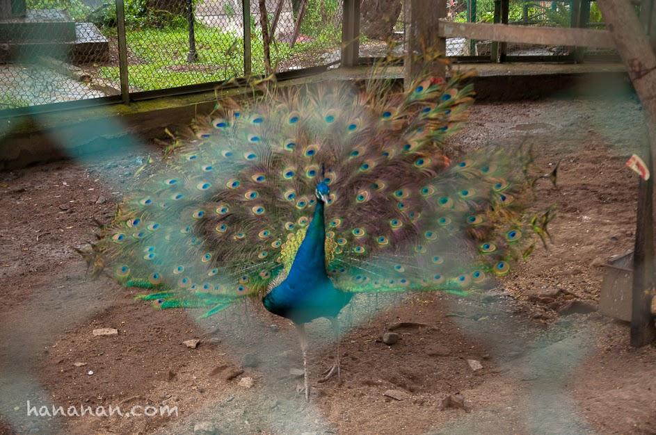 Burung Merak, koleksi Taman Margasatwa & Budaya Kinantan