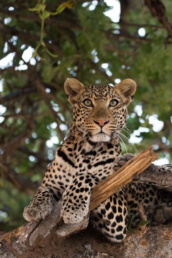 Moyo by VAM Photography - Animals Lions, Tigers & Big Cats ( nature, ruaha, tanzania, mammal, leopard, animal,  )