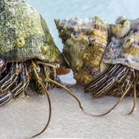 Hermit Crab Friends by Sarah Noonan - Animals Sea Creatures ( macro, sea creatures, beach, hermit crabs )