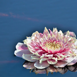 Giant Water Lily Blossom on a Lake in the Pantanal, Brazil by Sheri Fresonke Harper - Flowers Single Flower ( blossom, brazil, sheri fresonke harper, giant, pantanal, lake, water lily,  )