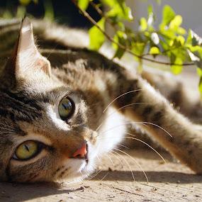 by Akshay Bhondokar - Animals - Cats Portraits
