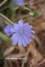 Photo: ΚΙΧΩΡΙΟ ΤΟ ΑΝΤΙΔΙ (ΡΑΔΙΚΙ) cichorium intybus Το ραδίκι είναι πολύ κοινό φυτό με φύλλα σε ρόδακα πολύμορφα συνήθως πτεροσχιδή.Ο βλαστός ψηλός που διακλαδίζεται ,χνουδωτός Ανθίδια μπλέ οδοντωτά στην άκρη.Το φυτό είναι βρώσιμο πολύ αγαπητό στην πατρίδα μας .Η ονομασία του είναι πολύ παλιά αφού και ο Θεόφραστος το ονομάζει επίσης κιχώριο ΦΑΡΑΓΓΙ ΦΟΙΝΟΚΑΛΙΑ