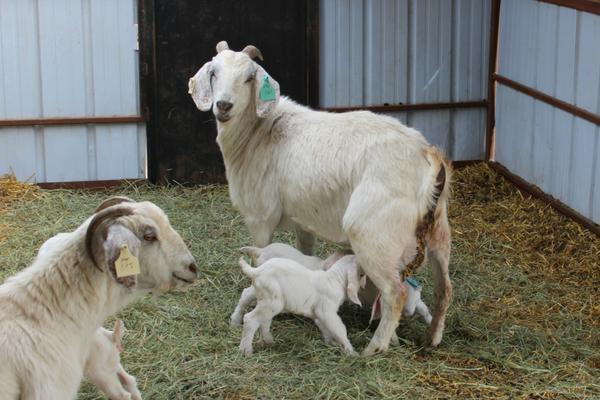 savannah does with newborn kids