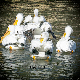 The End by Sharon Leckbee - Typography Captioned Photos ( birds.pelicans )