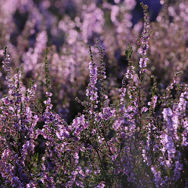 flowering heather by Hilda van der Lee - Nature Up Close Other plants ( purple, nature, holland, depth of field, august, summer, dew drops, flowers, close up, heather,  )