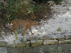 Photo: Bobcat near the house