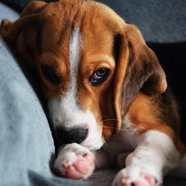 Matthew by Gergana Stefanova - Animals - Dogs Portraits ( mood, beagle, puppy, light, cute )
