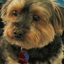 Yorkiepoo by Carolyn Taylor - Animals - Dogs Portraits (  )