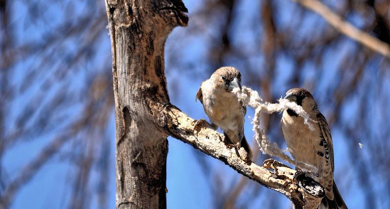 In coppia per la costruzione del nido di vitomaso