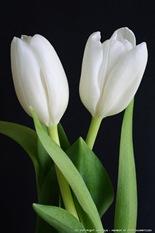 IMG_tulips