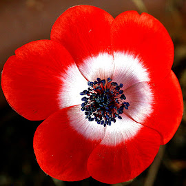 Red Anemone by Chrissie Barrow - Flowers Single Flower ( single, red, white, anemone, stamens, black, garden, petals, flower )