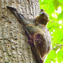 Malayan Colugo/Sunda Flying Lemur