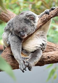 a kolar sleeping on the tree due to tiredness