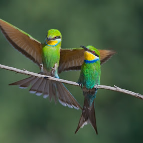 Under my wings. by Hennie Cilliers - Animals Birds ( swallow-tailed bee-eater., animal, motion, animals in motion, pwc76 )