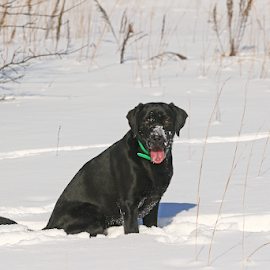 Goofy Goose by Dave Hollub - Animals - Dogs Portraits ( black labrador retriever, labrador retriever in snow, black lab )