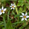 White Blue-Eyed Grass