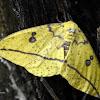 Imperial Moth (Female)