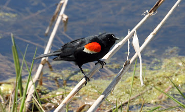 Photo: Carouge à épaulettes (Red-winged Blackbird) mâle Marais Léon-Provencher Neuville 2008