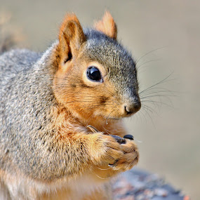 Eastern Fox Squirrel by Nancy Daugherty - Animals Other Mammals
